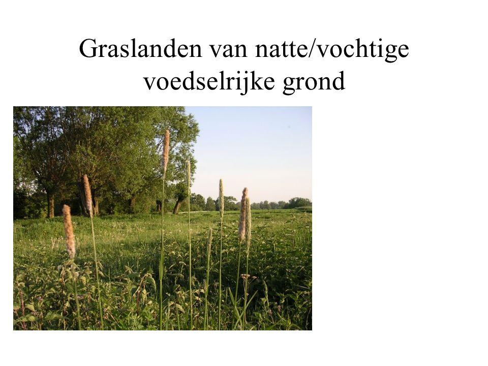 Graslanden op droge voedselarme grond Ook hier kan een bloemrijk beeld ontstaan met kleine plantjes als schapezuring, zandblauwtje, muizenoor enz.
