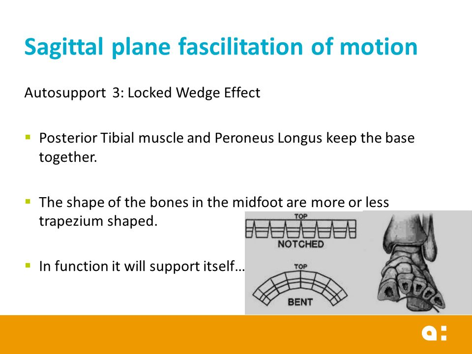 Autosupport 3: Locked Wedge Effect  Posterior Tibial muscle and Peroneus Longus keep the base together.  The shape of the bones in the midfoot are m