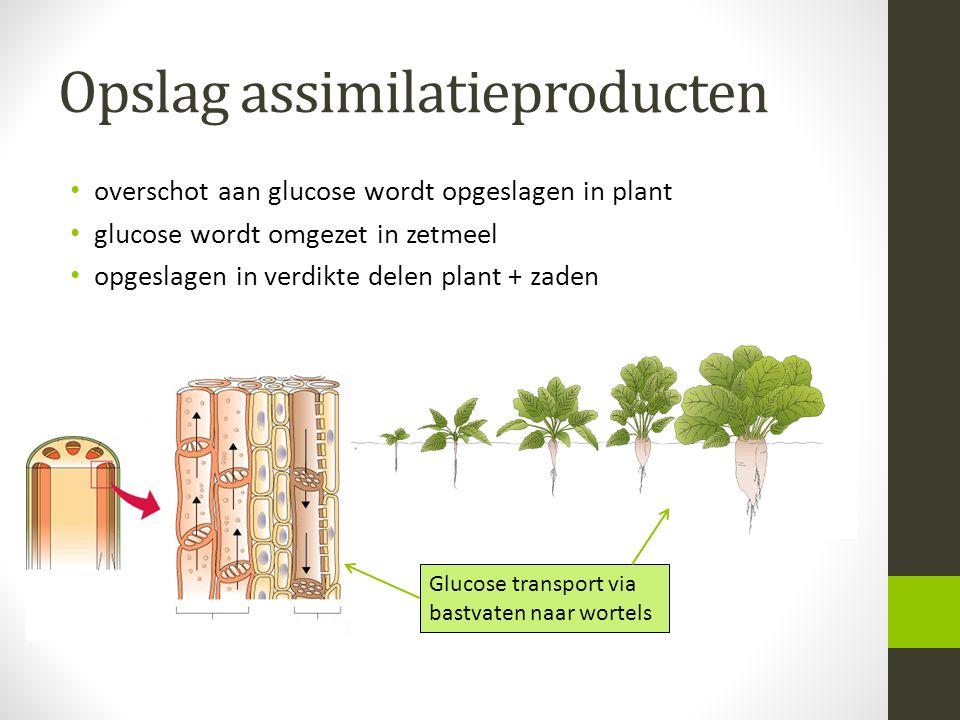 Opslag assimilatieproducten overschot aan glucose wordt opgeslagen in plant glucose wordt omgezet in zetmeel opgeslagen in verdikte delen plant + zaden Glucose transport via bastvaten naar wortels