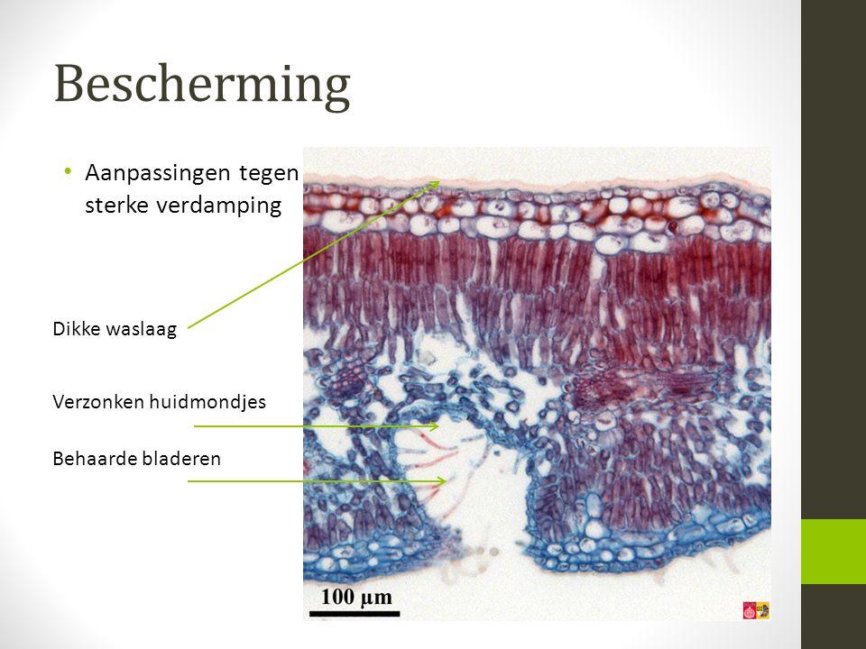 Bescherming Aanpassingen tegen sterke verdamping Verzonken huidmondjes Behaarde bladeren Dikke waslaag