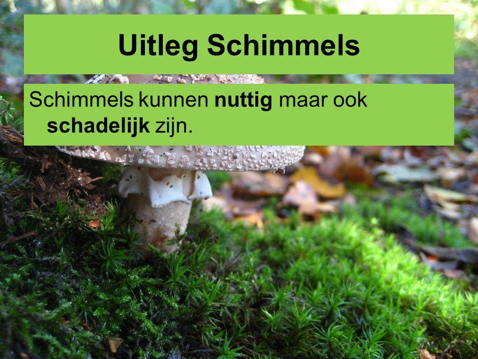 Uitleg schimmels Nuttige schimmels De paddenstoelen van sommige schimmels kunnen worden gegeten (champignon).