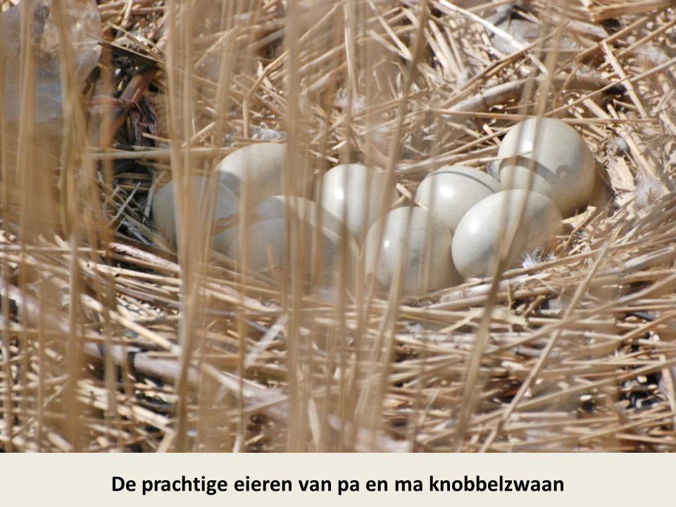 Witje (ma knobbelzwaan) zit op een nest met negen eieren