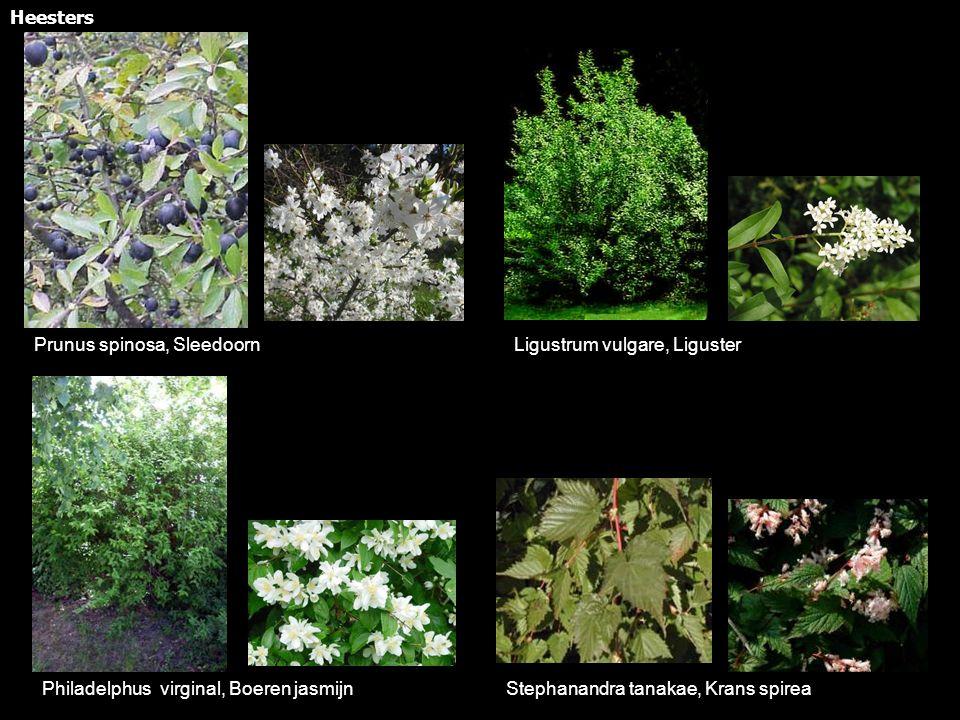 Philadelphus virginal, Boeren jasmijn Ligustrum vulgare, LigusterPrunus spinosa, Sleedoorn Stephanandra tanakae, Krans spirea Heesters