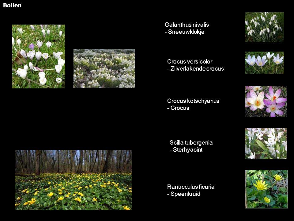 Bollen Galanthus nivalis - Sneeuwklokje Crocus versicolor - Zilverlakende crocus Crocus kotschyanus - Crocus Scilla tubergenia - Sterhyacint Ranucculus ficaria - Speenkruid