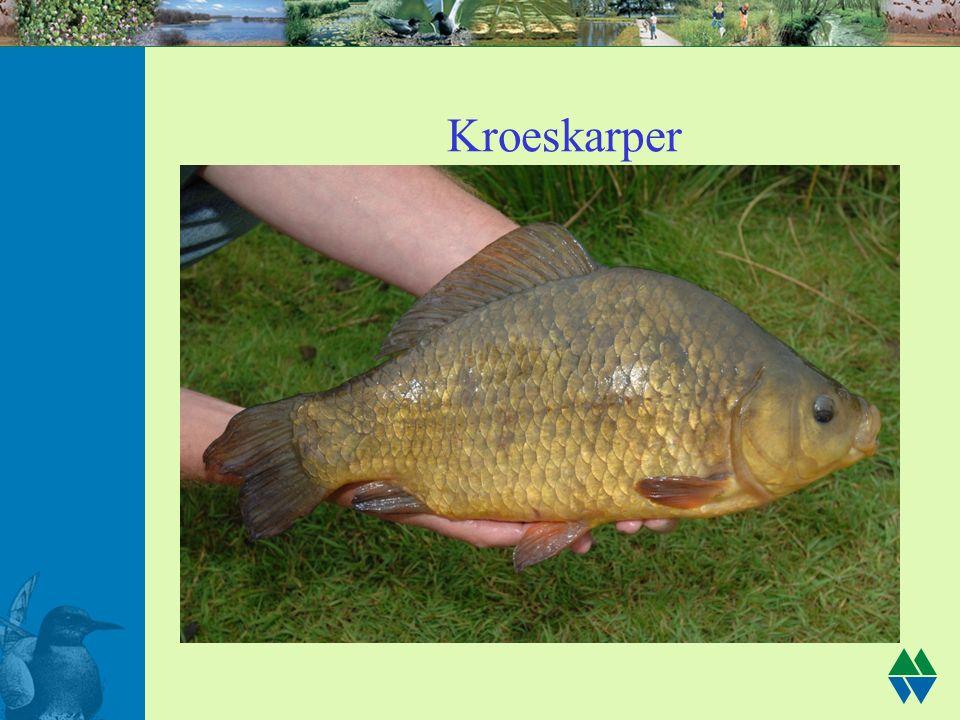 Kroeskarper
