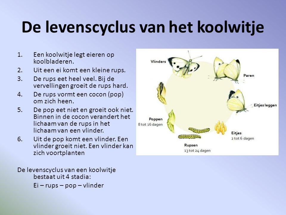 De levenscyclus van het koolwitje 1.Een koolwitje legt eieren op koolbladeren.
