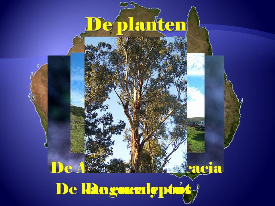 De kangoeroepoot De Australische acacia De eucalyptus