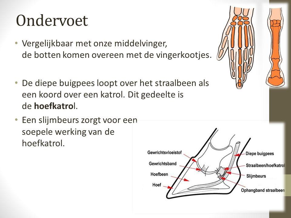 Ondervoet Vergelijkbaar met onze middelvinger, de botten komen overeen met de vingerkootjes. De diepe buigpees loopt over het straalbeen als een koord