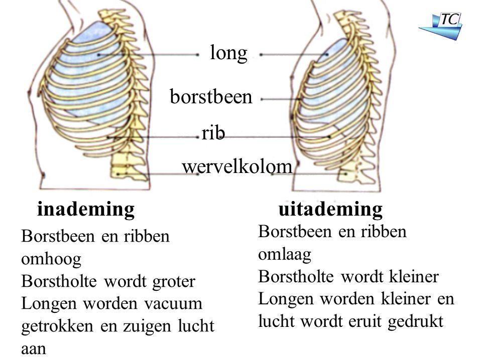 long borstbeen rib wervelkolom inademinguitademing Borstbeen en ribben omhoog Borstholte wordt groter Longen worden vacuum getrokken en zuigen lucht aan Borstbeen en ribben omlaag Borstholte wordt kleiner Longen worden kleiner en lucht wordt eruit gedrukt
