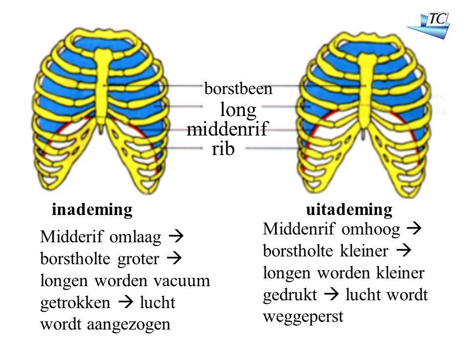 borstbeen long rib middenrif inademinguitademing Midderif omlaag  borstholte groter  longen worden vacuum getrokken  lucht wordt aangezogen Middenrif omhoog  borstholte kleiner  longen worden kleiner gedrukt  lucht wordt weggeperst