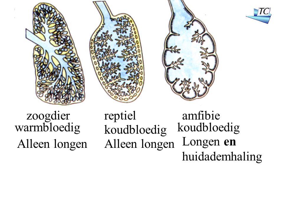 zoogdierreptielamfibie warmbloedig koudbloedig Alleen longen Longen en huidademhaling