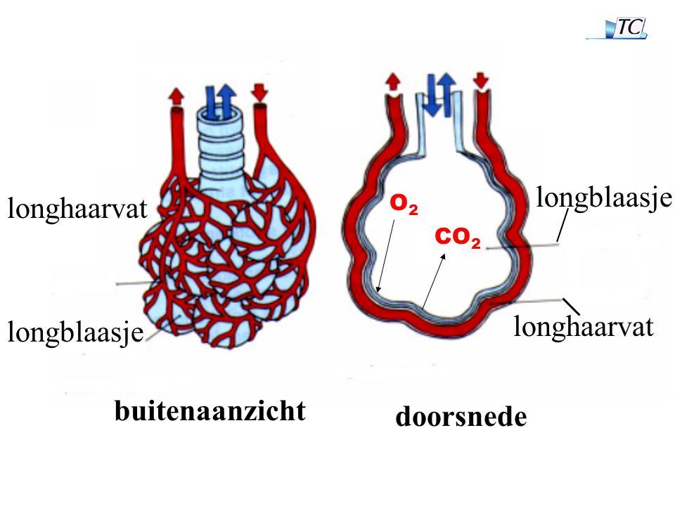 buitenaanzicht doorsnede longhaarvat longblaasje O2O2 CO 2