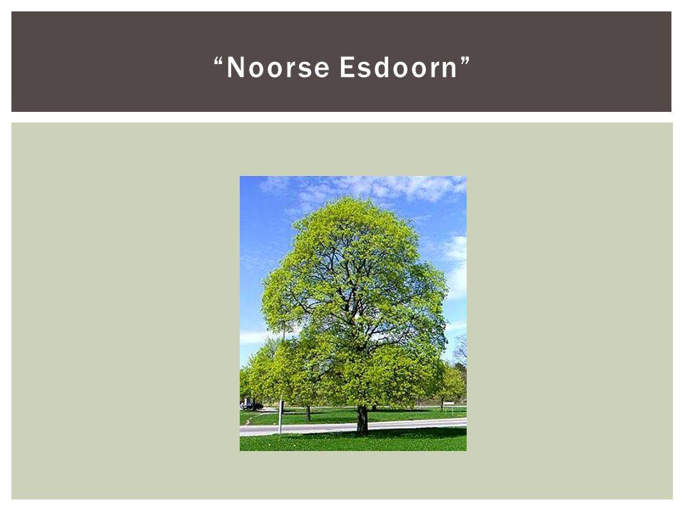 """Noorse Esdoorn"""