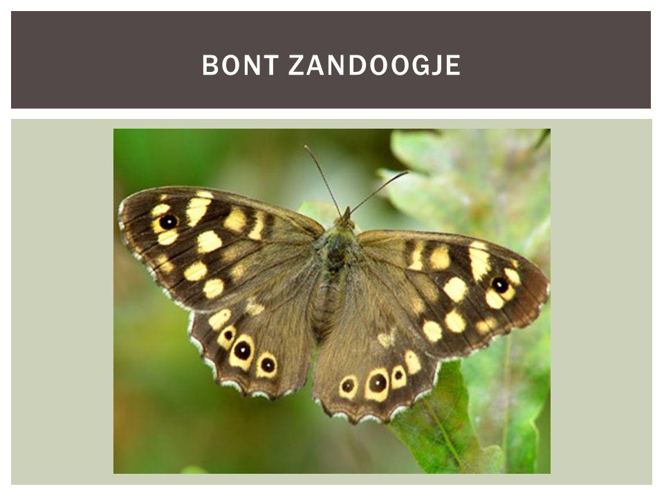 Soortgroep Hoofd-biotoopbossen Uiterlijke kenmerken*bruin gekleurd *gele vlekjes aan buitenkant van vleugels *spanwijdte 3 tot 4 centimeter Extra foto's KENMERKEN SOORTNAAM