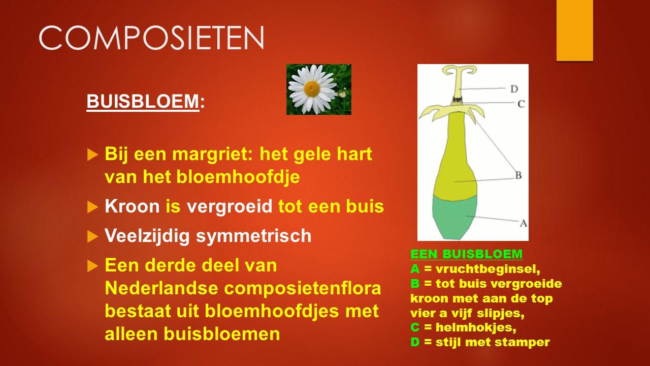 COMPOSIETEN BUISBLOEM:  Bij een margriet: het gele hart van het bloemhoofdje  Kroon is vergroeid tot een buis  Veelzijdig symmetrisch  Een derde d
