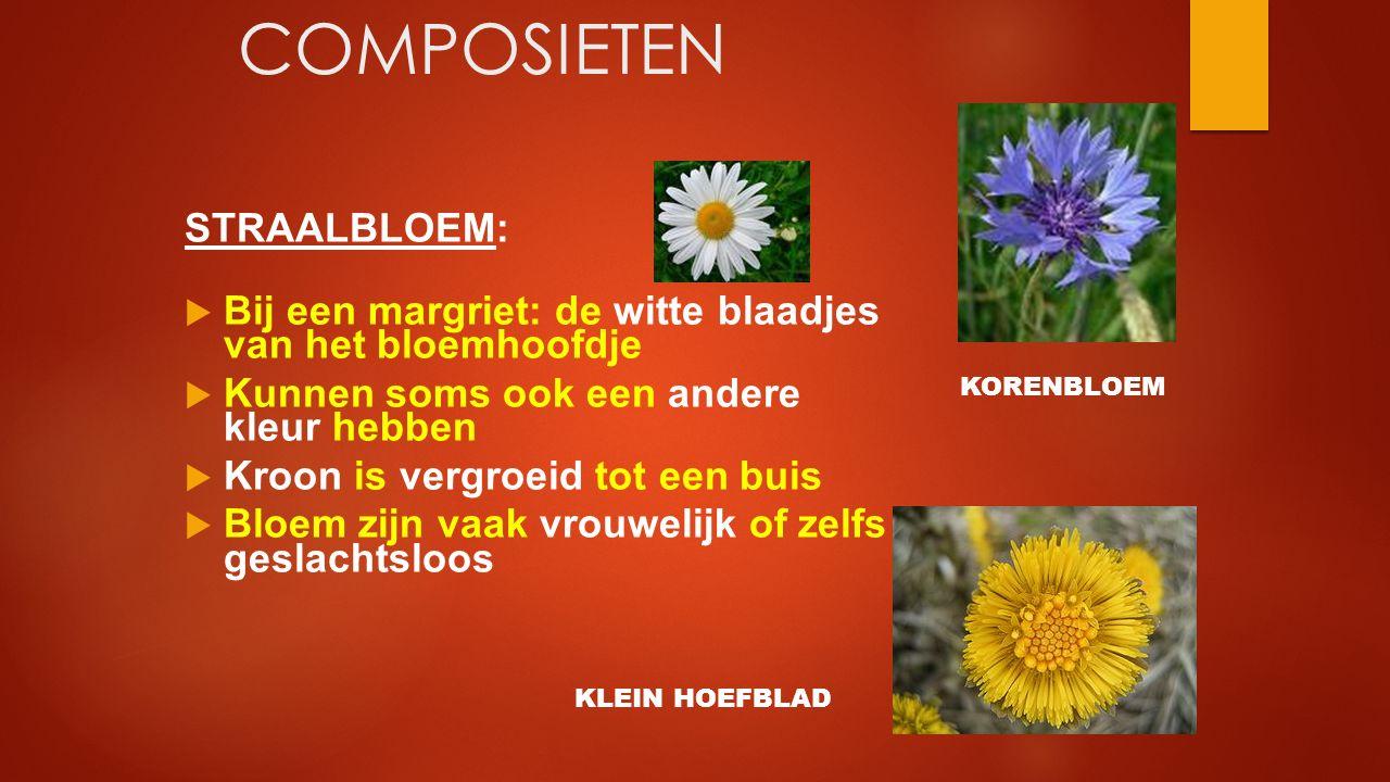 COMPOSIETEN STRAALBLOEM:  Bij een margriet: de witte blaadjes van het bloemhoofdje  Kunnen soms ook een andere kleur hebben  Kroon is vergroeid tot