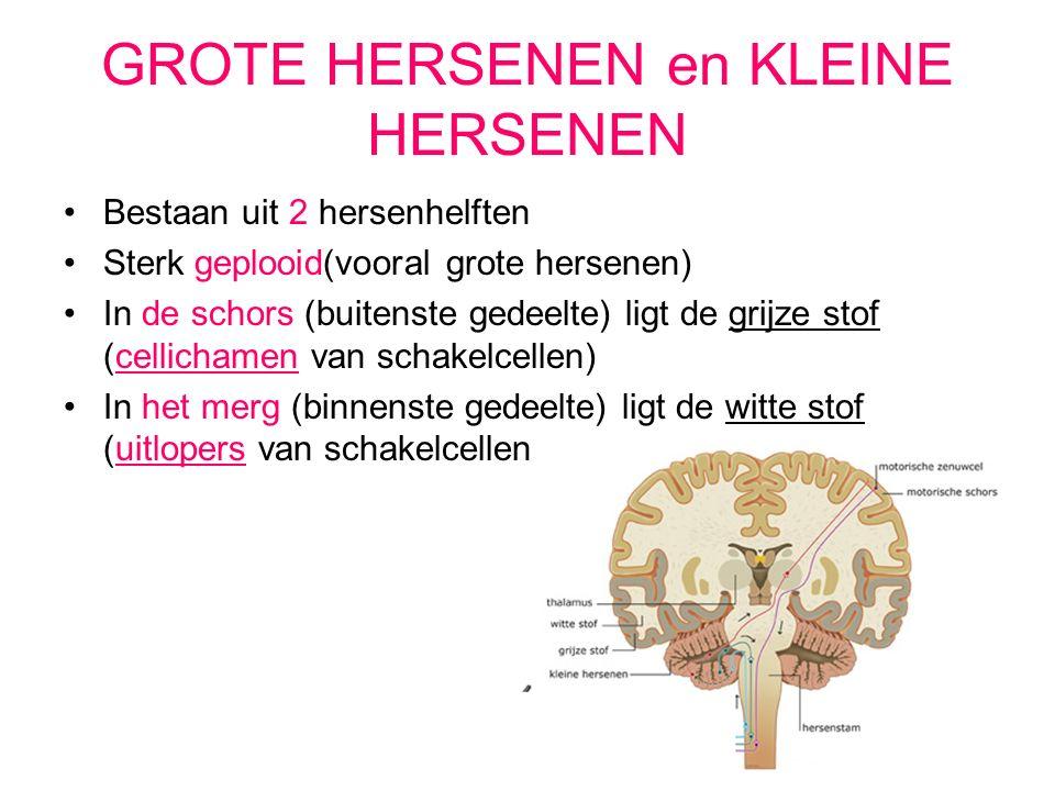 GROTE HERSENEN en KLEINE HERSENEN Bestaan uit 2 hersenhelften Sterk geplooid(vooral grote hersenen) In de schors (buitenste gedeelte) ligt de grijze stof (cellichamen van schakelcellen) In het merg (binnenste gedeelte) ligt de witte stof (uitlopers van schakelcellen