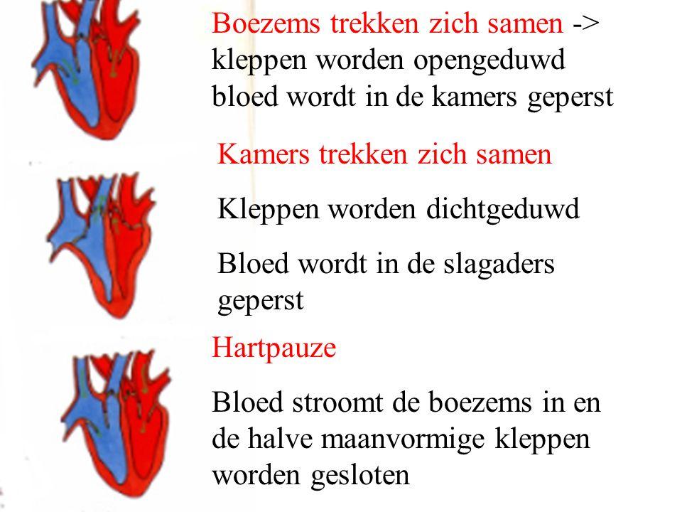 Boezems trekken zich samen -> kleppen worden opengeduwd bloed wordt in de kamers geperst Kamers trekken zich samen Kleppen worden dichtgeduwd Bloed wo