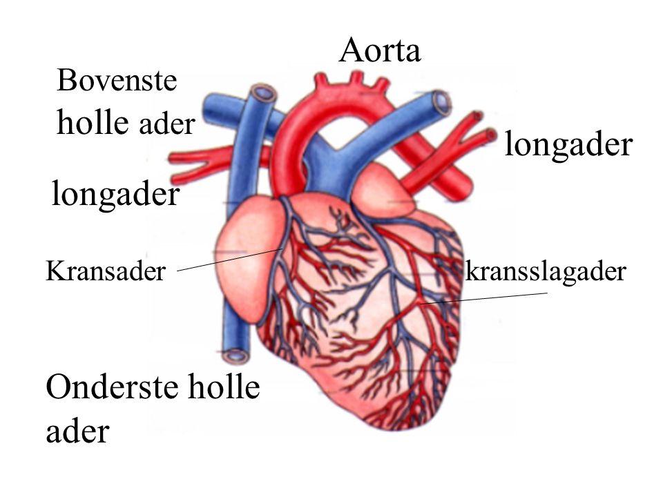 Bovenste holle ader Aorta Onderste holle ader longader kransslagaderKransader