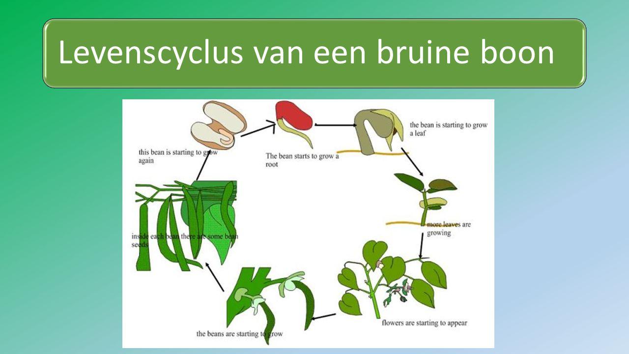 Levenscyclus van een bruine boon: Een worteltje groeit het eerstDan een stengeltje met blaadjesDe plant groeit: meer blaadjesEr komen bloemen aan de plantDe bloemen worden bevruchtDe bloemen veranderen in vruchtenDe vruchten laten de zaden los