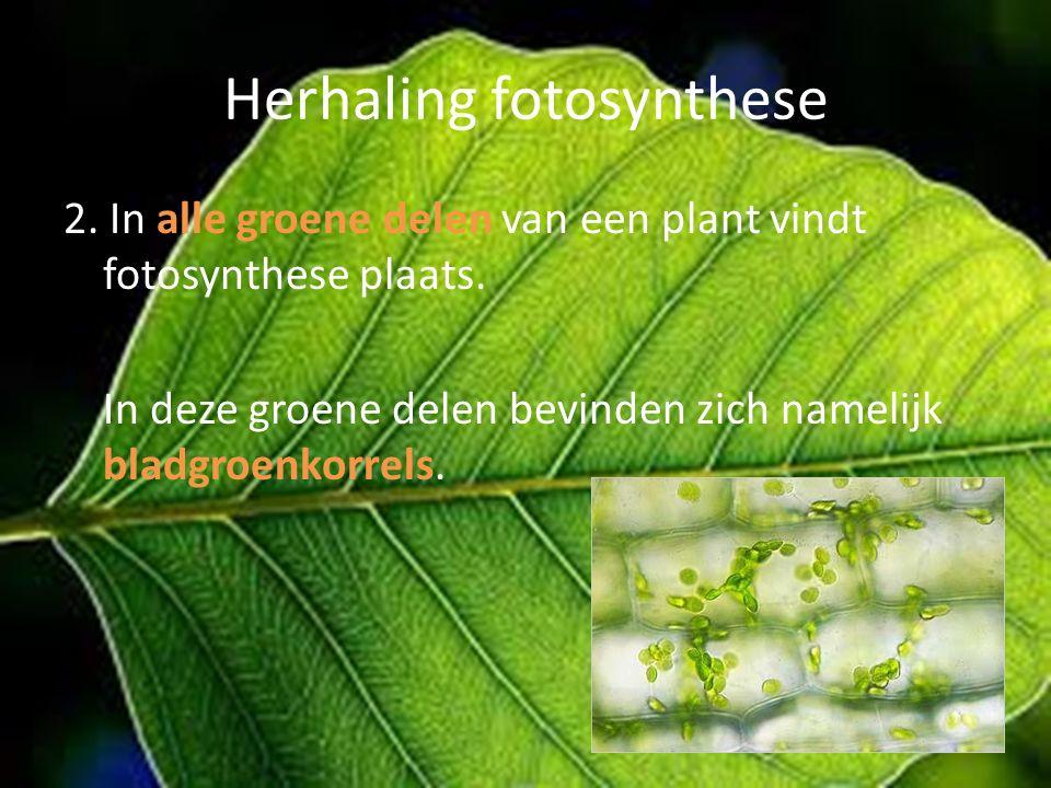 Herhaling fotosynthese 2. In alle groene delen van een plant vindt fotosynthese plaats. In deze groene delen bevinden zich namelijk bladgroenkorrels.