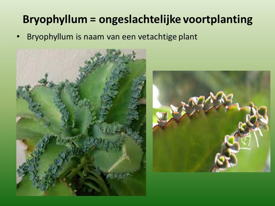 Bryophyllum = ongeslachtelijke voortplanting Bryophyllum is naam van een vetachtige plant