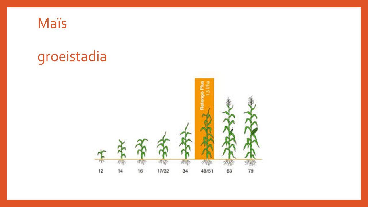 Maïs groeistadia