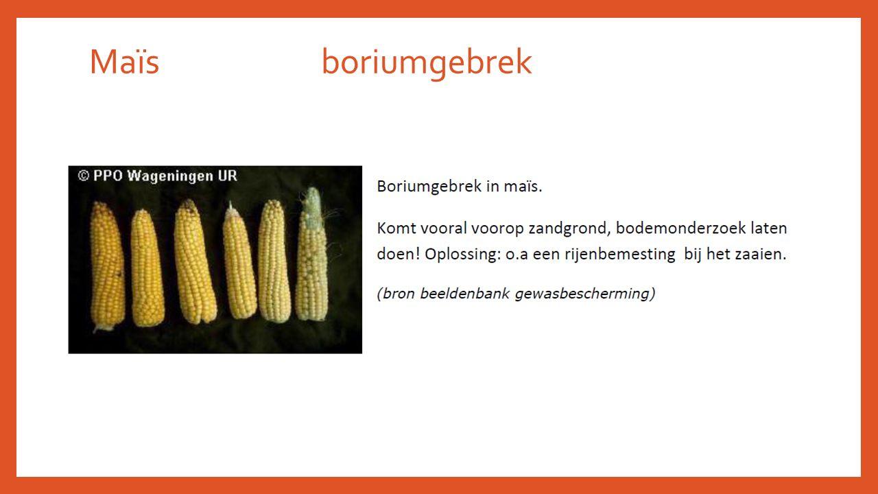 Maïs boriumgebrek