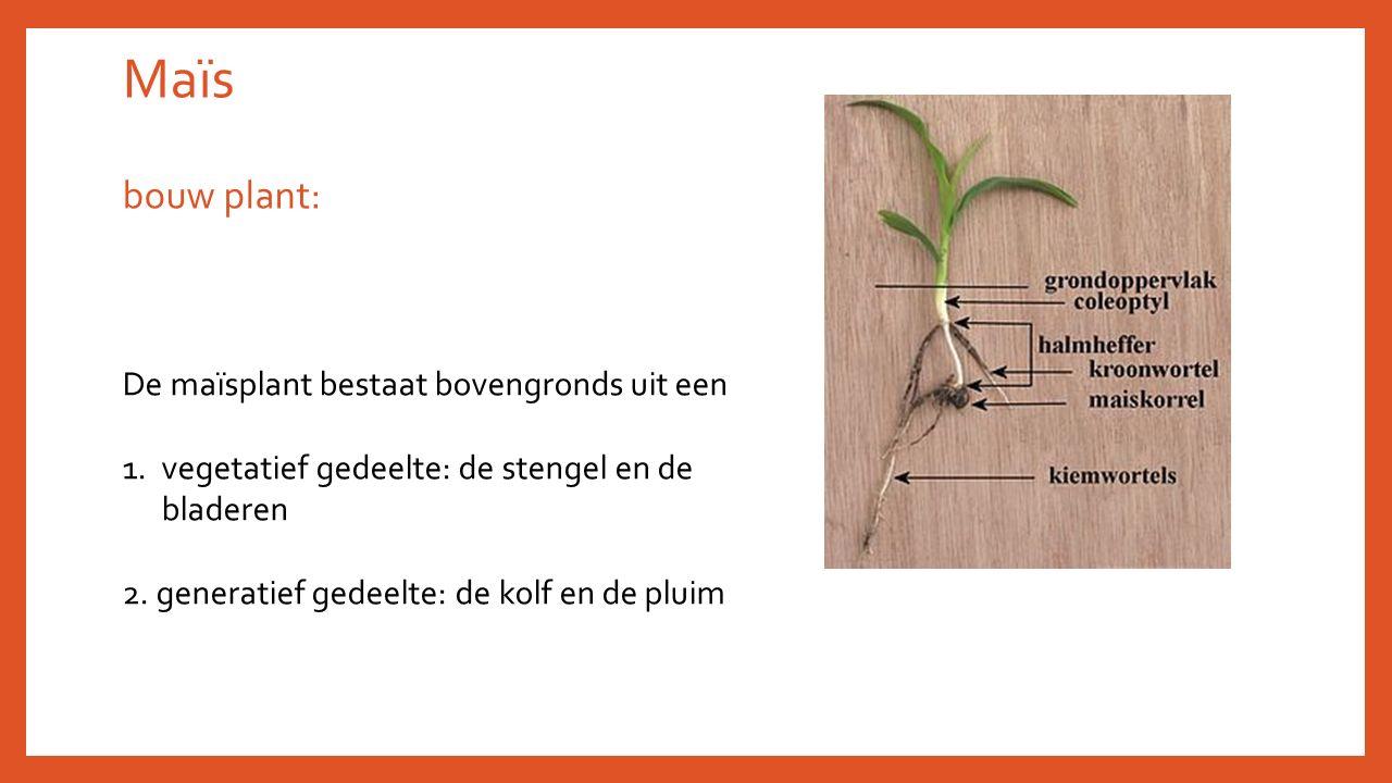 Maïs bouw plant: De maïsplant bestaat bovengronds uit een 1.vegetatief gedeelte: de stengel en de bladeren 2. generatief gedeelte: de kolf en de pluim