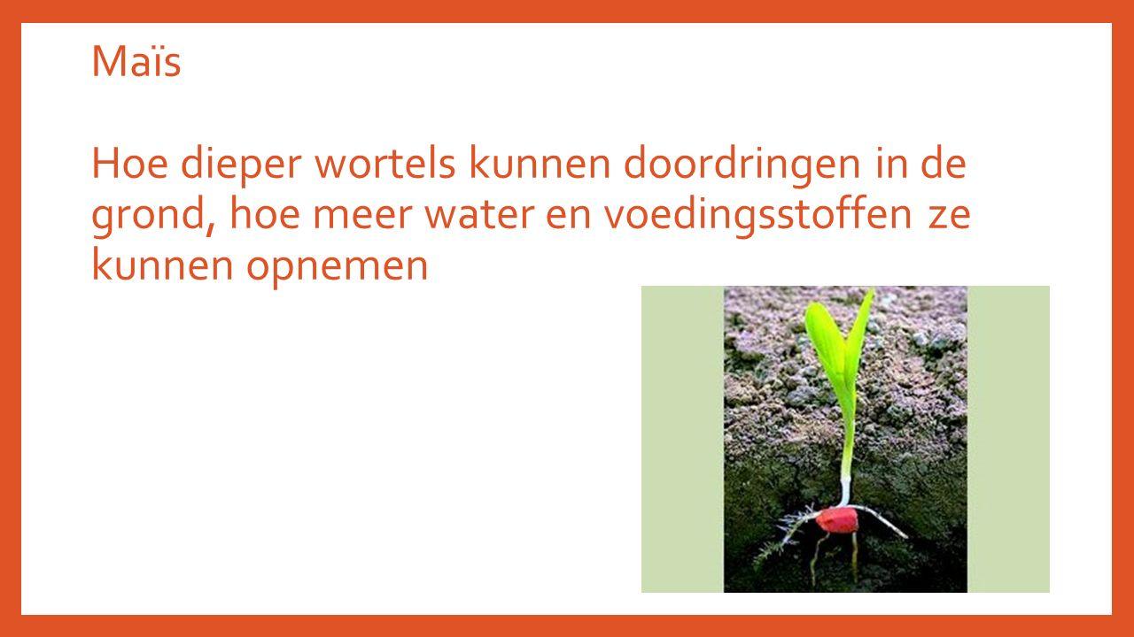 Maïs Hoe dieper wortels kunnen doordringen in de grond, hoe meer water en voedingsstoffen ze kunnen opnemen