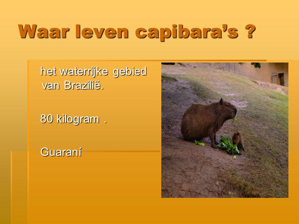 Kunnen capibara's zwemmen .
