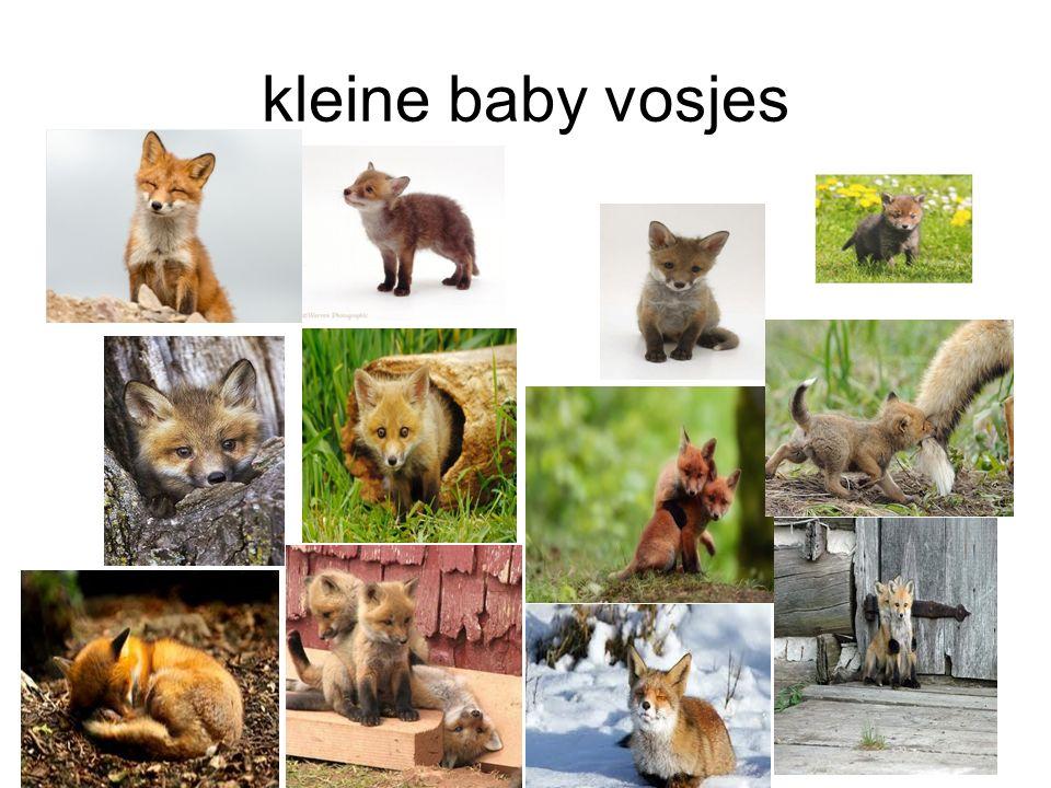 kleine baby vosjes