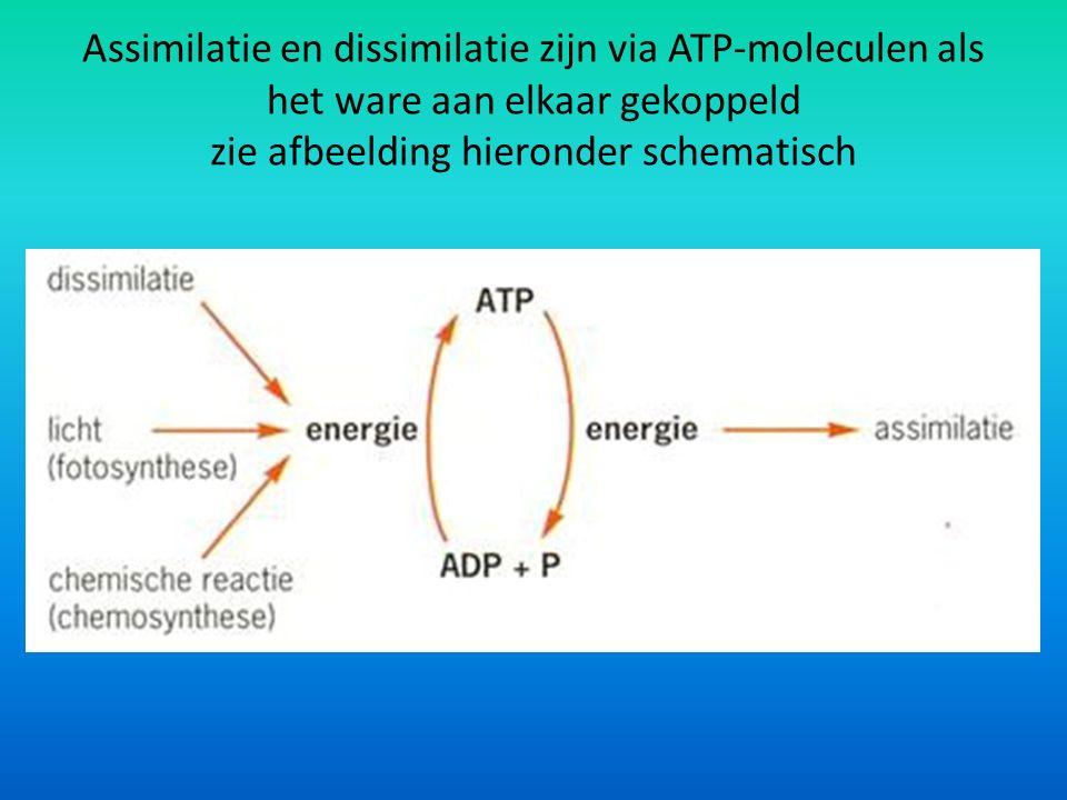 Assimilatie en dissimilatie zijn via ATP-moleculen als het ware aan elkaar gekoppeld zie afbeelding hieronder schematisch