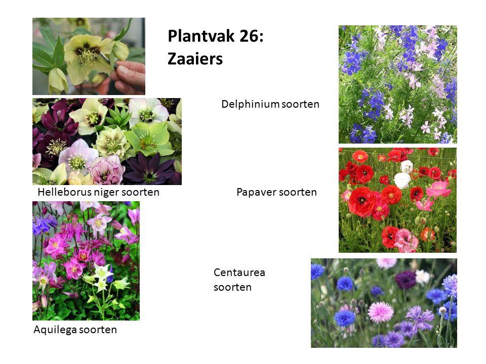 Plantvak 26: Zaaiers Helleborus niger soorten Aquilega soorten Delphinium soorten Papaver soorten Centaurea soorten