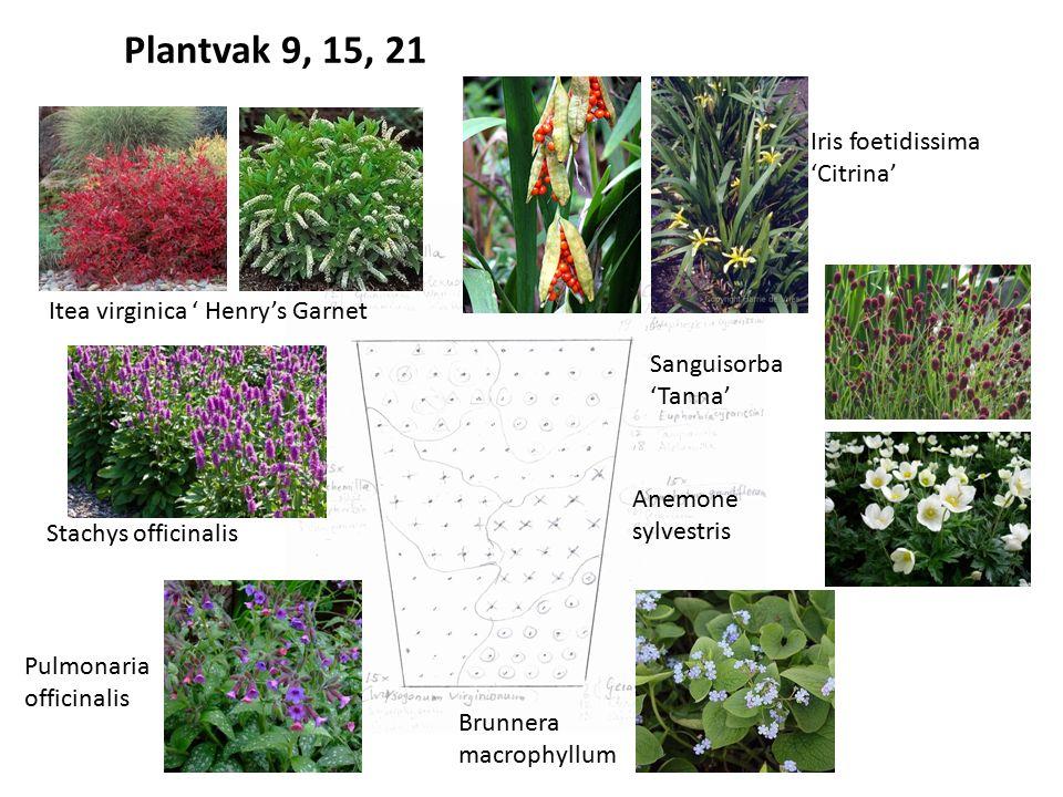 Itea virginica ' Henry's Garnet Iris foetidissima 'Citrina' Brunnera macrophyllum Anemone sylvestris Sanguisorba 'Tanna' Pulmonaria officinalis Stachy
