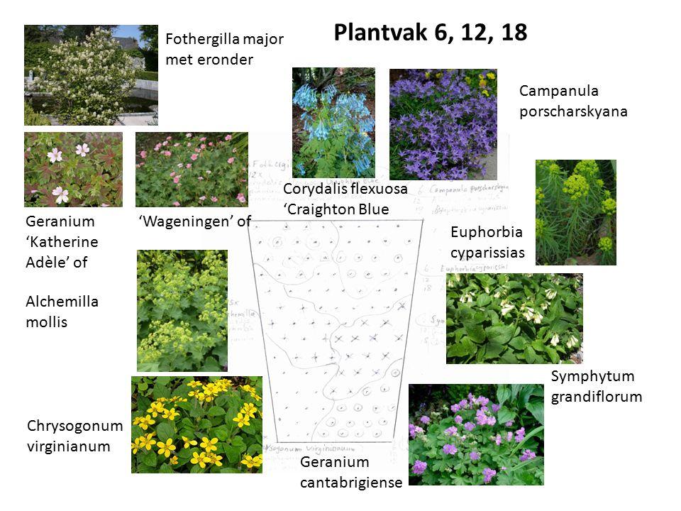 Fothergilla major met eronder Corydalis flexuosa 'Craighton Blue Campanula porscharskyana Symphytum grandiflorum Geranium cantabrigiense Euphorbia cyp