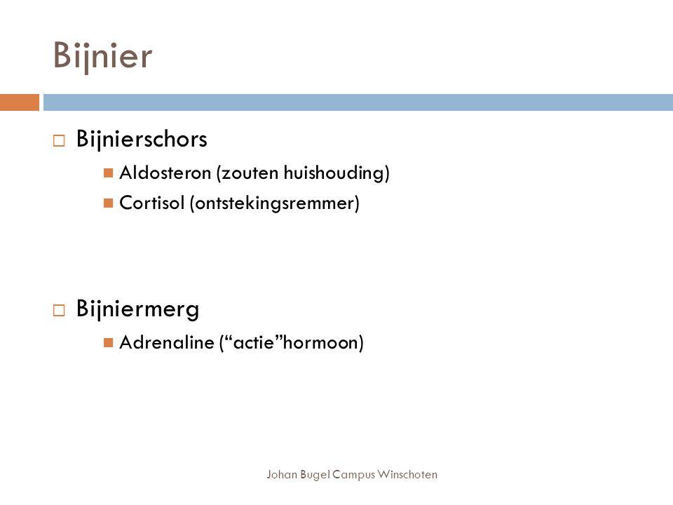Johan Bugel Campus Winschoten Bijnier  Bijnierschors Aldosteron (zouten huishouding) Cortisol (ontstekingsremmer)  Bijniermerg Adrenaline ( actie hormoon)