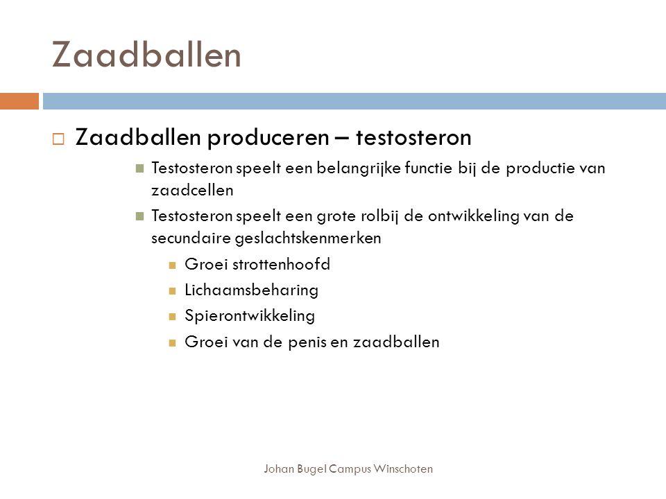 Johan Bugel Campus Winschoten Zaadballen  Zaadballen produceren – testosteron Testosteron speelt een belangrijke functie bij de productie van zaadcellen Testosteron speelt een grote rolbij de ontwikkeling van de secundaire geslachtskenmerken Groei strottenhoofd Lichaamsbeharing Spierontwikkeling Groei van de penis en zaadballen