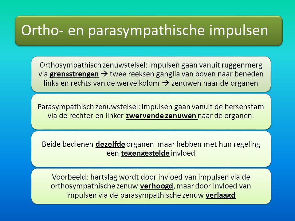 Ortho- en parasympathische impulsen Orthosympathisch zenuwstelsel: impulsen gaan vanuit ruggenmerg via grensstrengen  twee reeksen ganglia van boven naar beneden links en rechts van de wervelkolom  zenuwen naar de organen Parasympathisch zenuwstelsel: impulsen gaan vanuit de hersenstam via de rechter en linker zwervende zenuwen naar de organen.