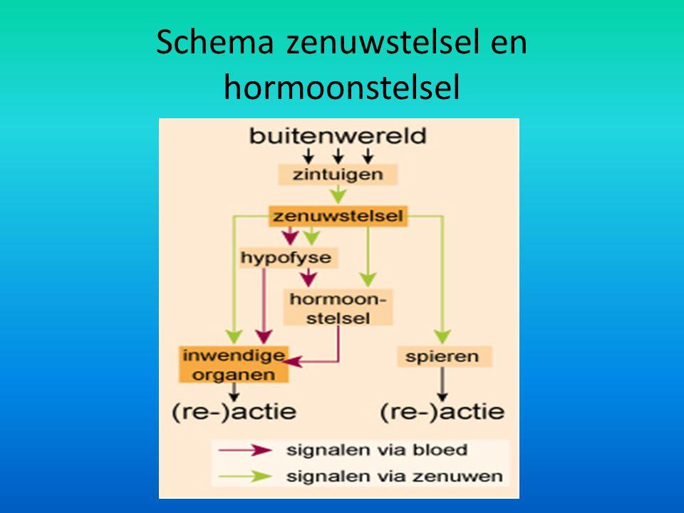 Schema zenuwstelsel en hormoonstelsel