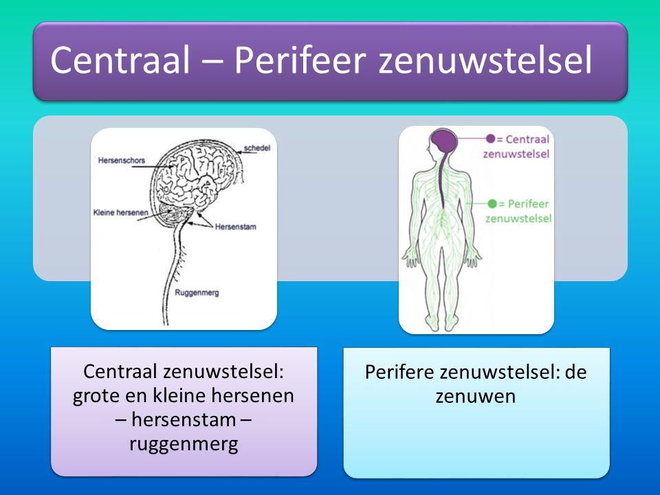 Centraal – Perifeer zenuwstelsel Centraal zenuwstelsel: grote en kleine hersenen – hersenstam – ruggenmerg Perifere zenuwstelsel: de zenuwen
