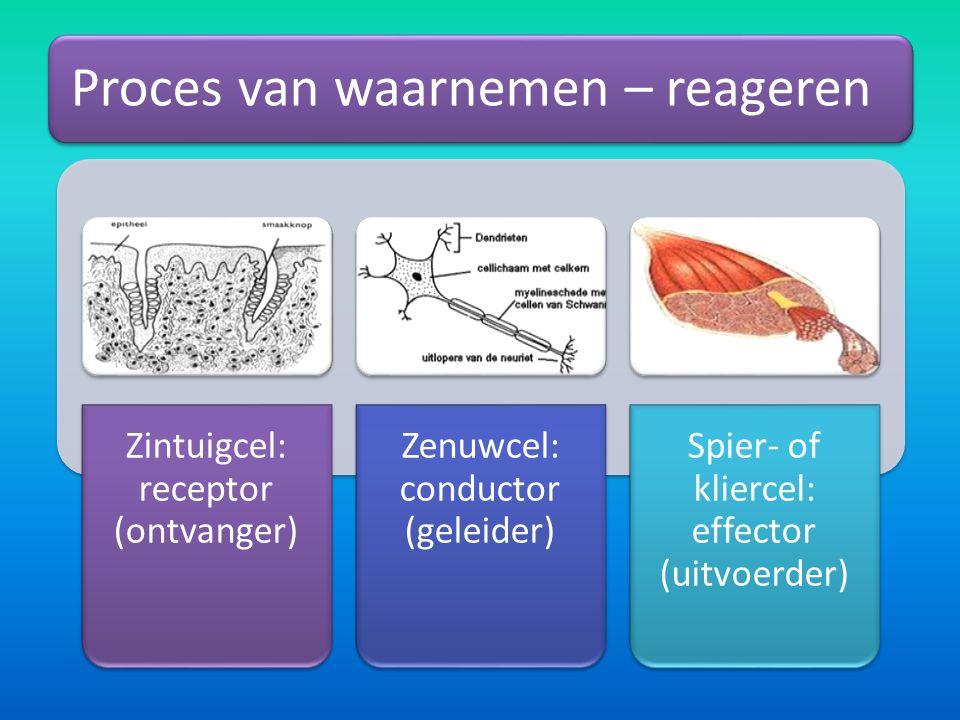 Proces van waarnemen – reageren Zintuigcel: receptor (ontvanger) Zenuwcel: conductor (geleider) Spier- of kliercel: effector (uitvoerder)