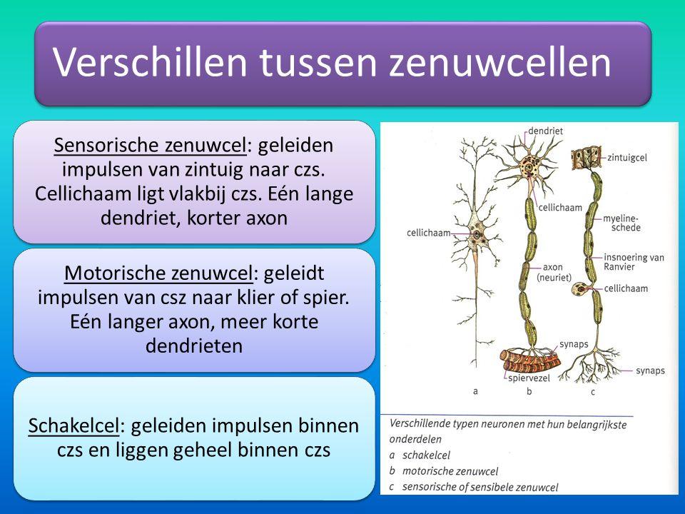 Verschillen tussen zenuwcellen Sensorische zenuwcel: geleiden impulsen van zintuig naar czs.