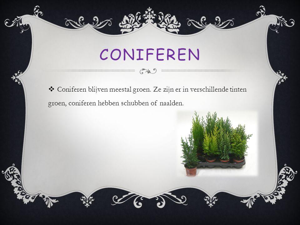 CONIFEREN  Coniferen blijven meestal groen. Ze zijn er in verschillende tinten groen, coniferen hebben schubben of naalden.