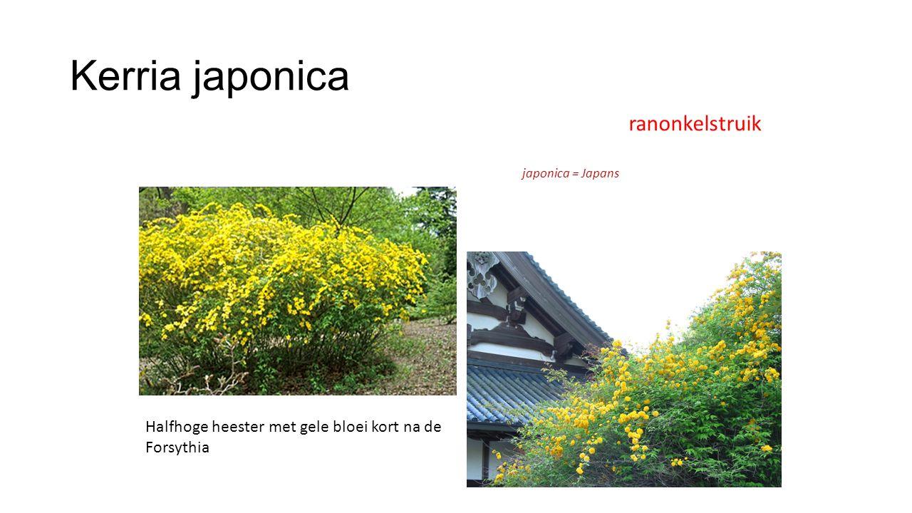Kerria japonica ranonkelstruik japonica = Japans Halfhoge heester met gele bloei kort na de Forsythia