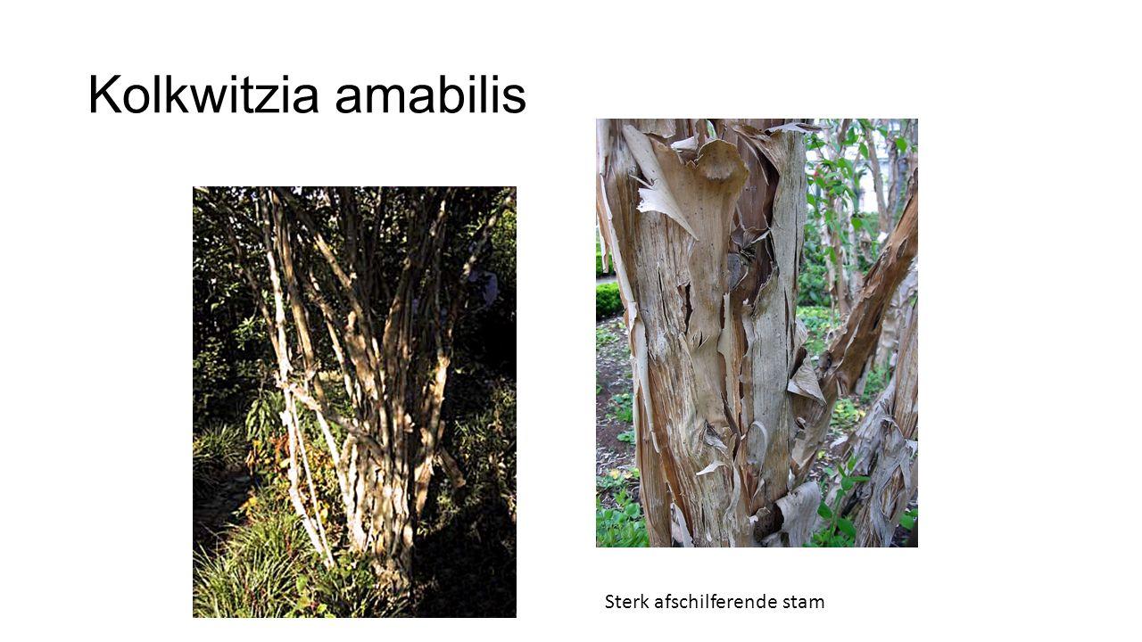 Kolkwitzia amabilis Sterk afschilferende stam