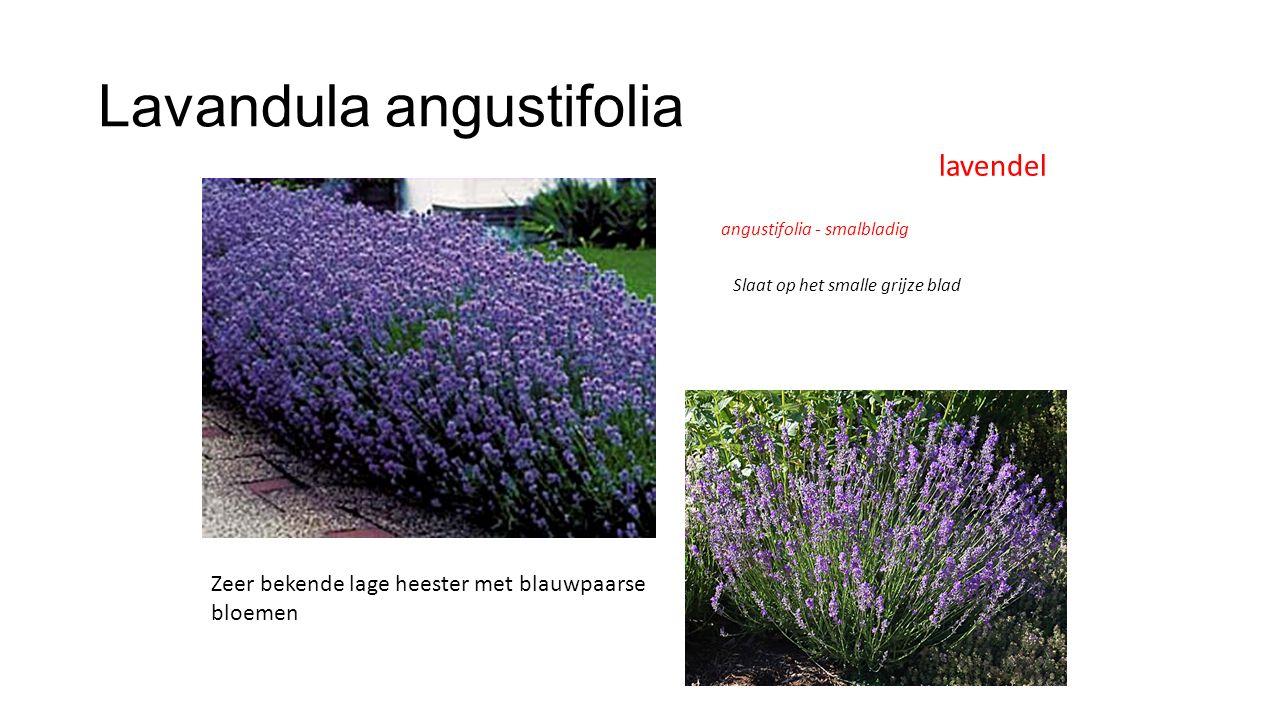 Lavandula angustifolia lavendel Zeer bekende lage heester met blauwpaarse bloemen angustifolia - smalbladig Slaat op het smalle grijze blad
