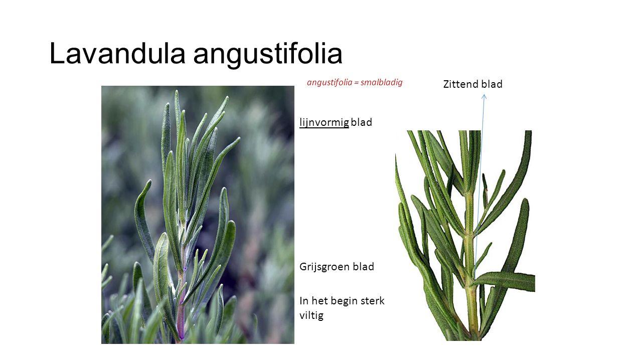 Lavandula angustifolia Zittend blad lijnvormig blad Grijsgroen blad In het begin sterk viltig angustifolia = smalbladig