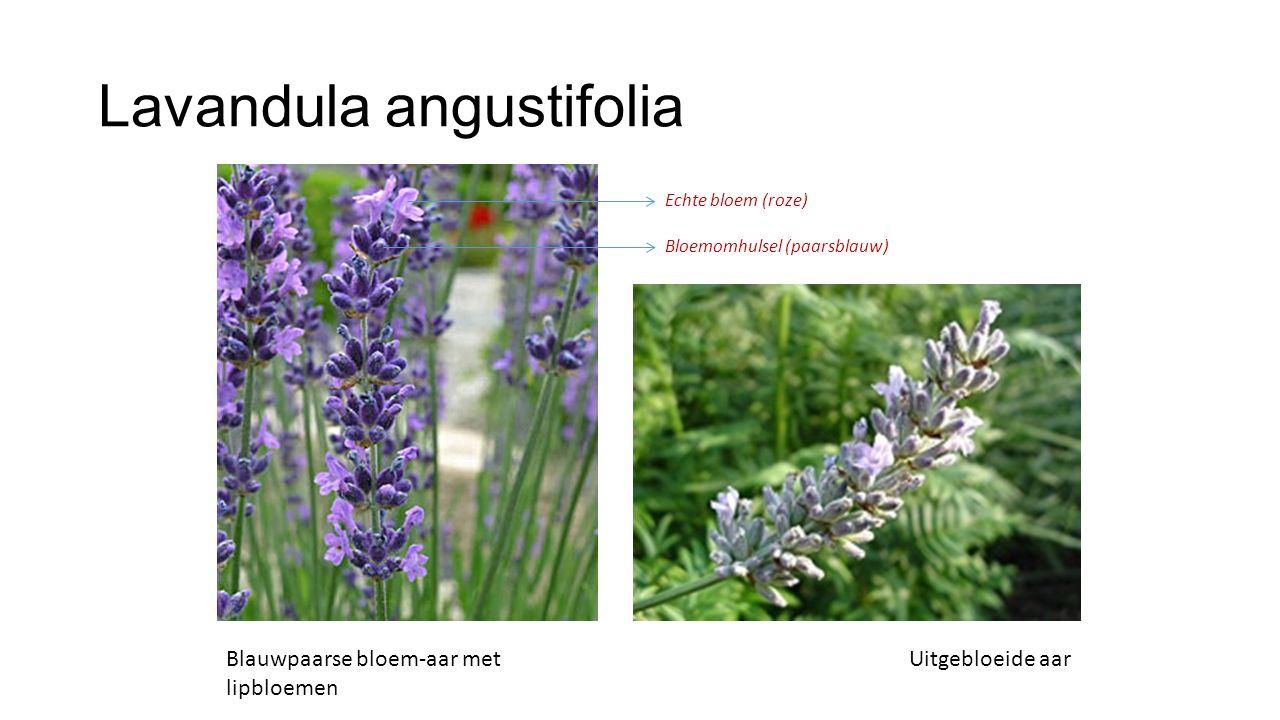 Lavandula angustifolia Blauwpaarse bloem-aar met lipbloemen Uitgebloeide aar Echte bloem (roze) Bloemomhulsel (paarsblauw)