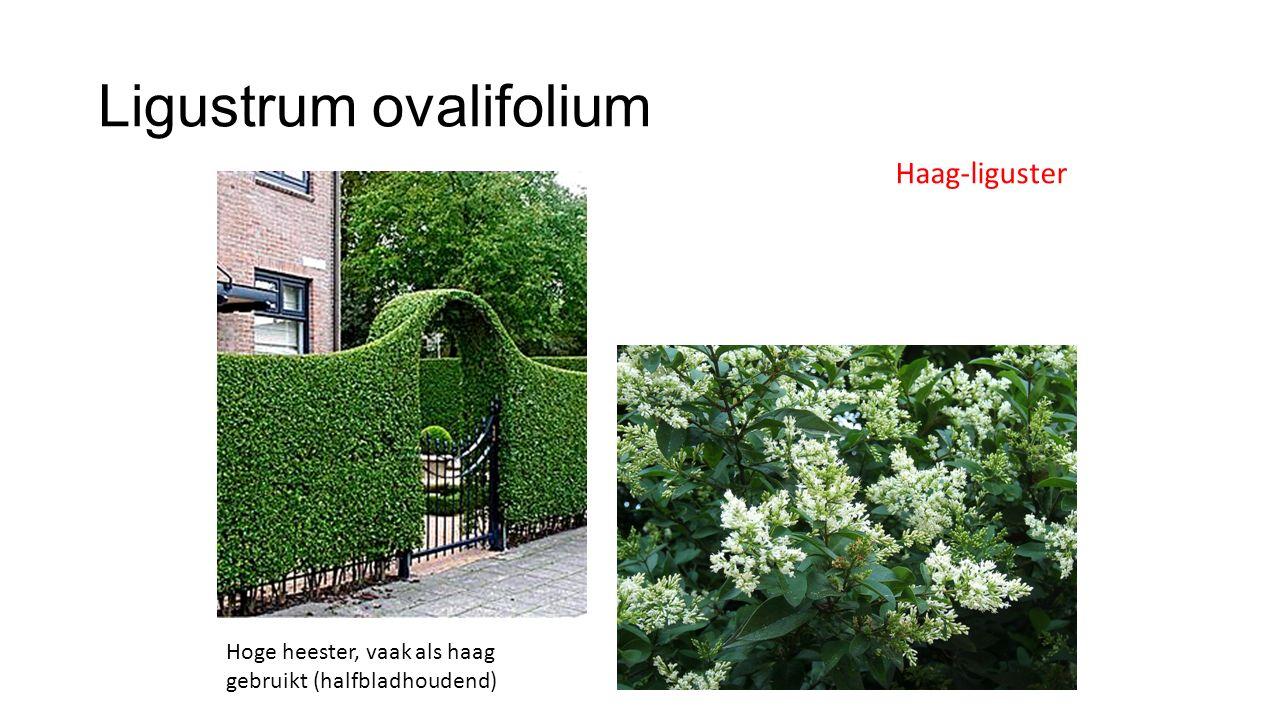 Ligustrum ovalifolium Haag-liguster Hoge heester, vaak als haag gebruikt (halfbladhoudend)